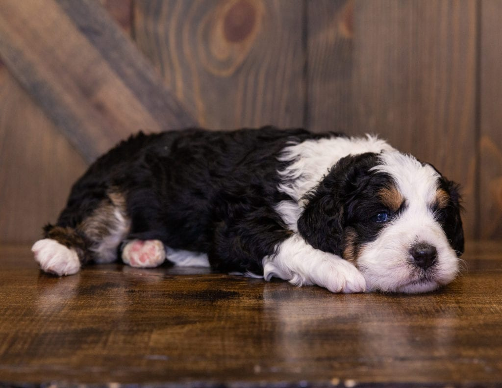 A picture of a Ivory, one of our Mini Bernedoodles for sale