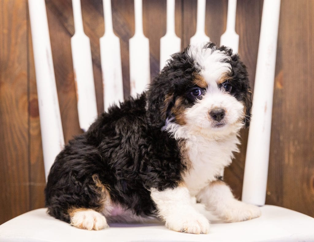 A picture of a Ivory, one of our Mini Bernedoodles puppies that went to their home in Minnesota