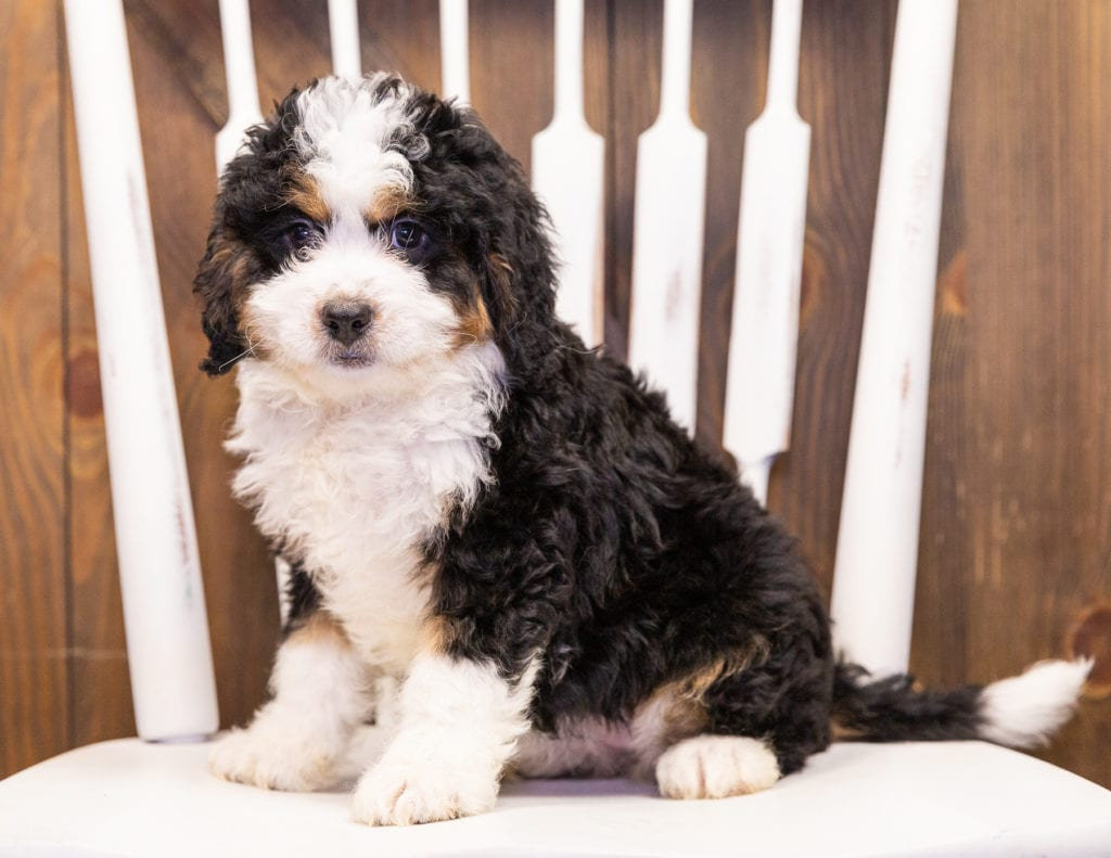 Ivory is an F1 Bernedoodle that should have  and is currently living in Minnesota