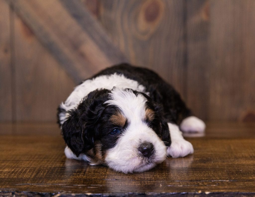 Ivory came from Della and Stanley's litter of F1 Bernedoodles