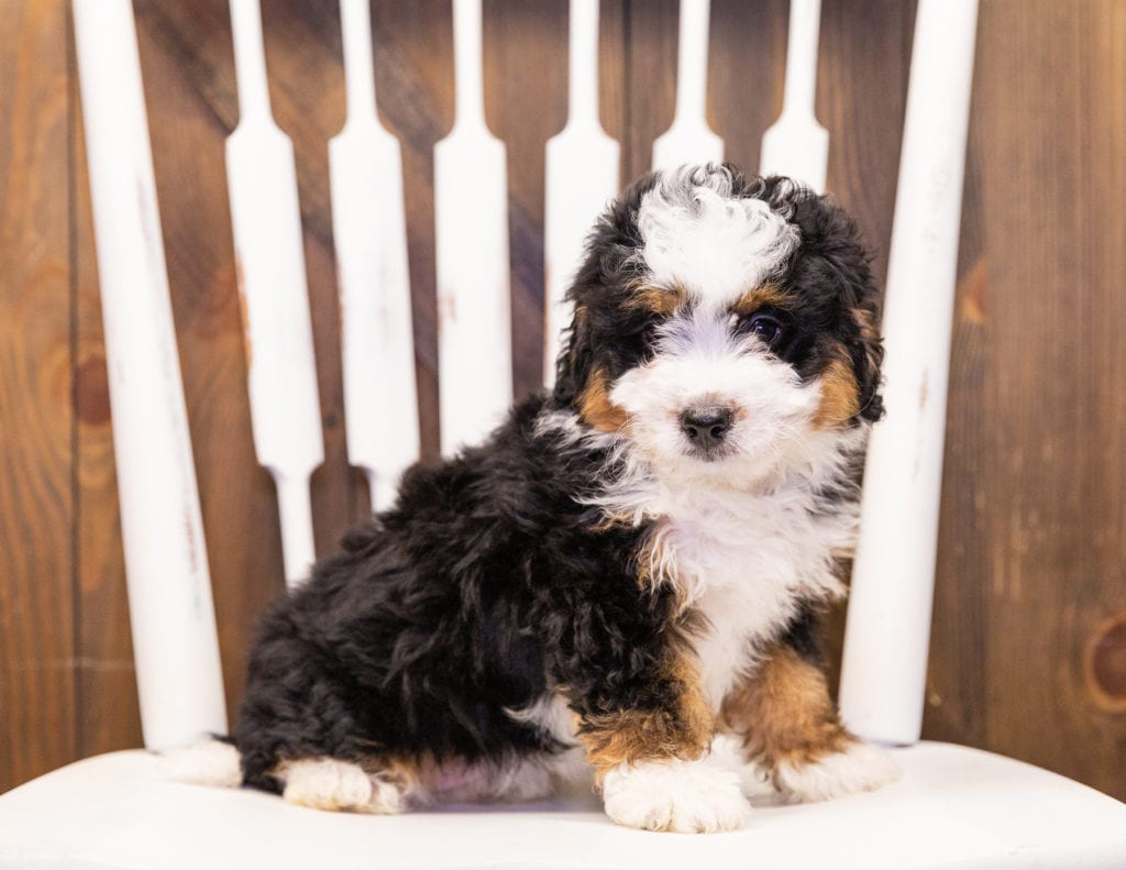 A picture of a Ivy, one of our Mini Bernedoodles for sale