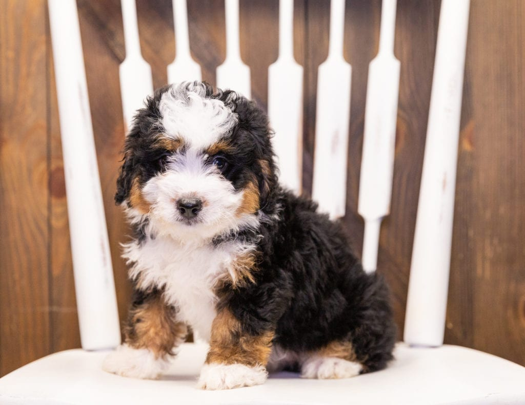 Ivy is an F1 Bernedoodle.