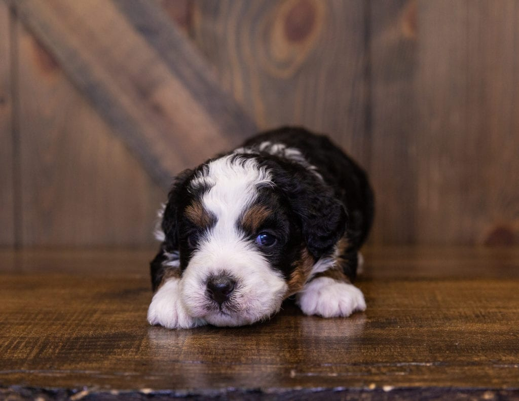 Ivy came from Della and Stanley's litter of F1 Bernedoodles