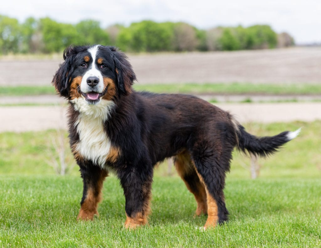 A picture of one of our Bernese Mountain Dog mother's, Jersey.
