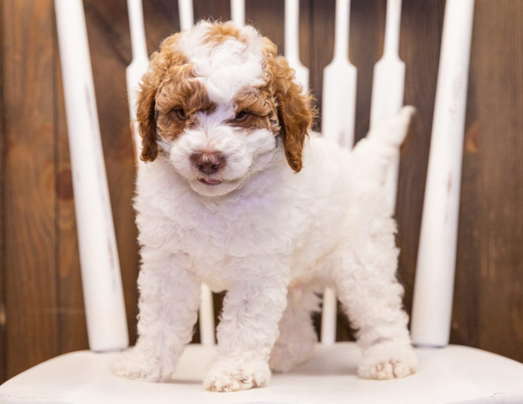 A picture of a Jersey, one of our Mini Poodles puppies that went to their home in California