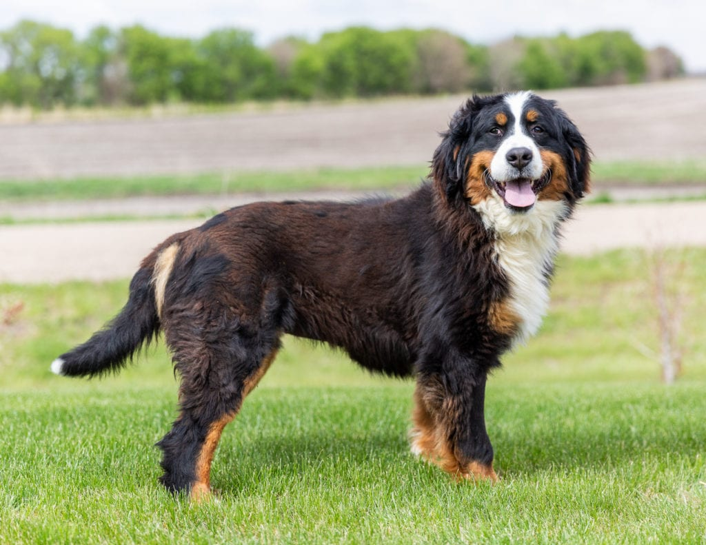 Jersey is an  Bernese Mountain Dog and a mother here at Poodles 2 Doodles, Sheepadoodle and Bernedoodle breeder from Iowa