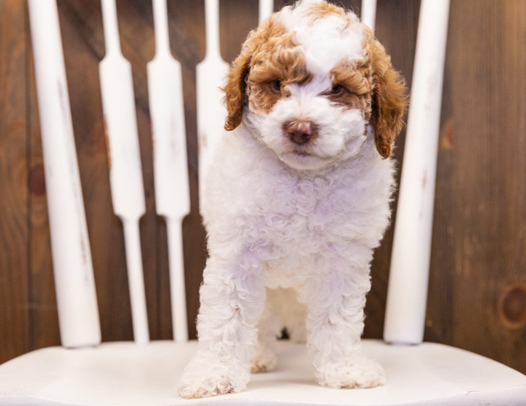 Jersey is an  Poodle that should have  and is currently living in California