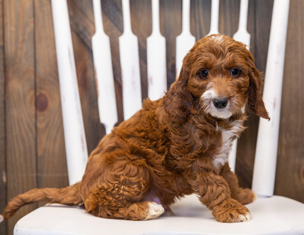 A picture of a Kane, one of our  Irish Doodles puppies that went to their home in New Jersey