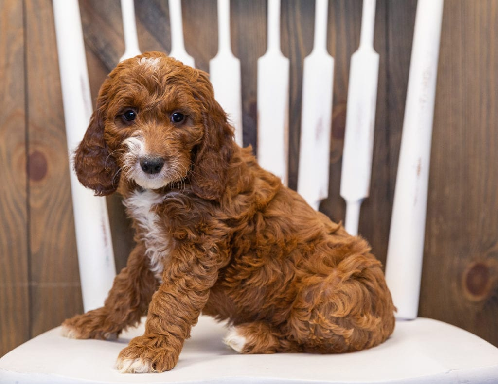 Kane is an F1 Irish Doodle that should have  and is currently living in New Jersey