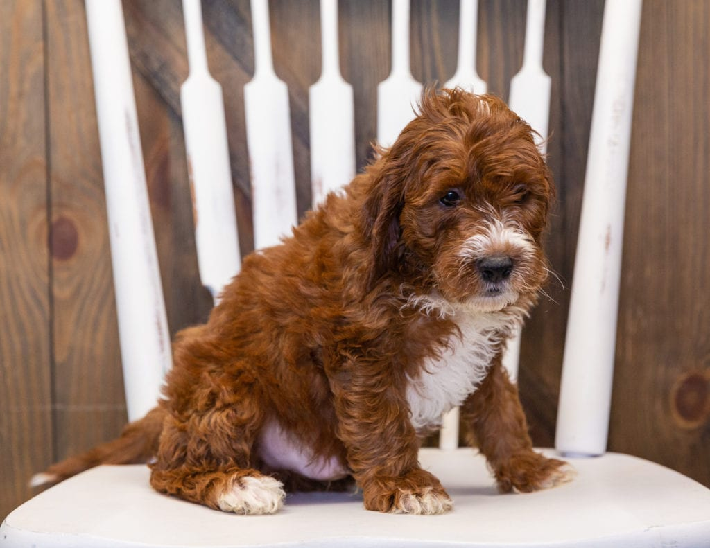 A picture of a Karl, one of our  Irish Doodles puppies that went to their home in Minnesota