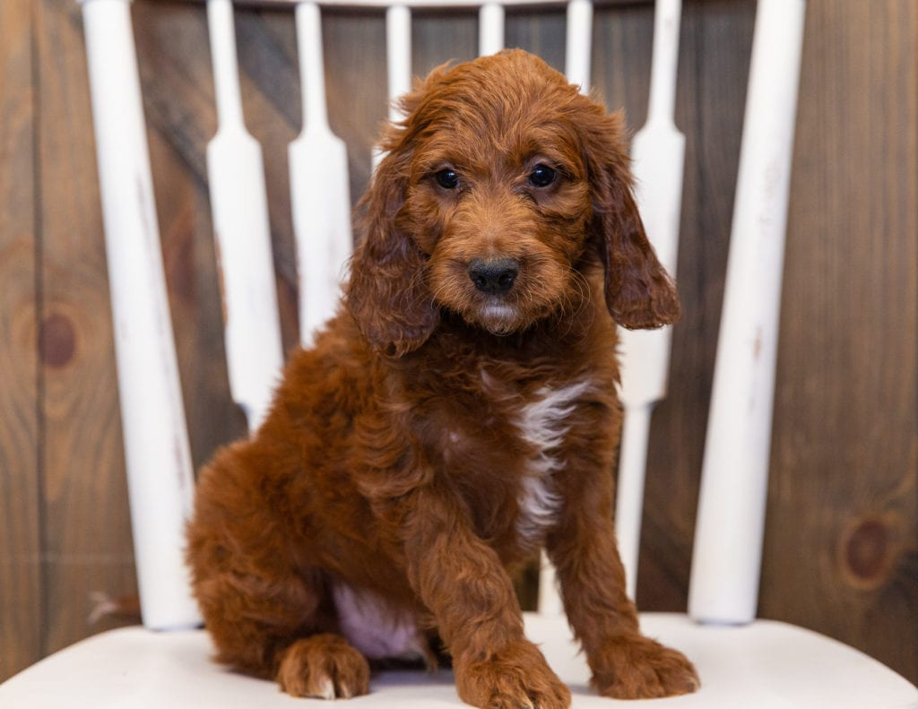 A picture of a King, one of our  Irish Doodles puppies that went to their home in Washington DC