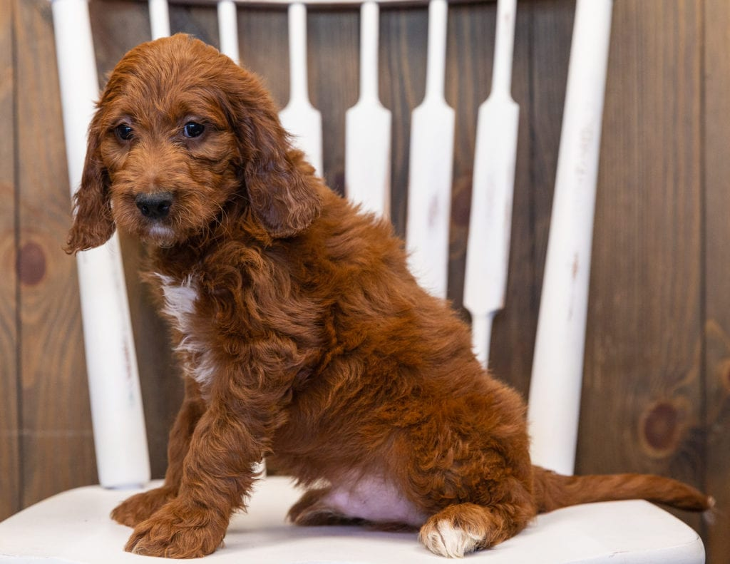 King is an F1 Irish Doodle that should have  and is currently living in Washington DC