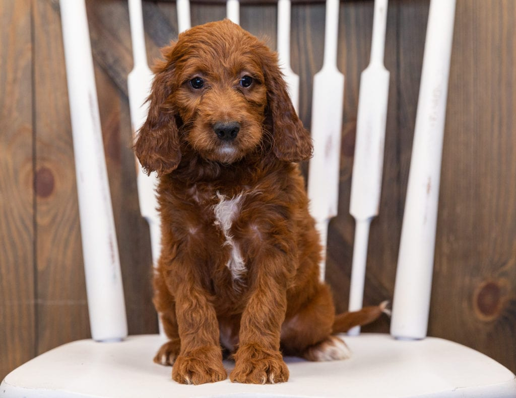 King came from Rylee and Reggie's litter of F1 Irish Doodles
