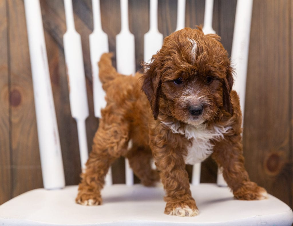 A picture of a Kipper, one of our  Irish Doodles puppies that went to their home in North Dakota