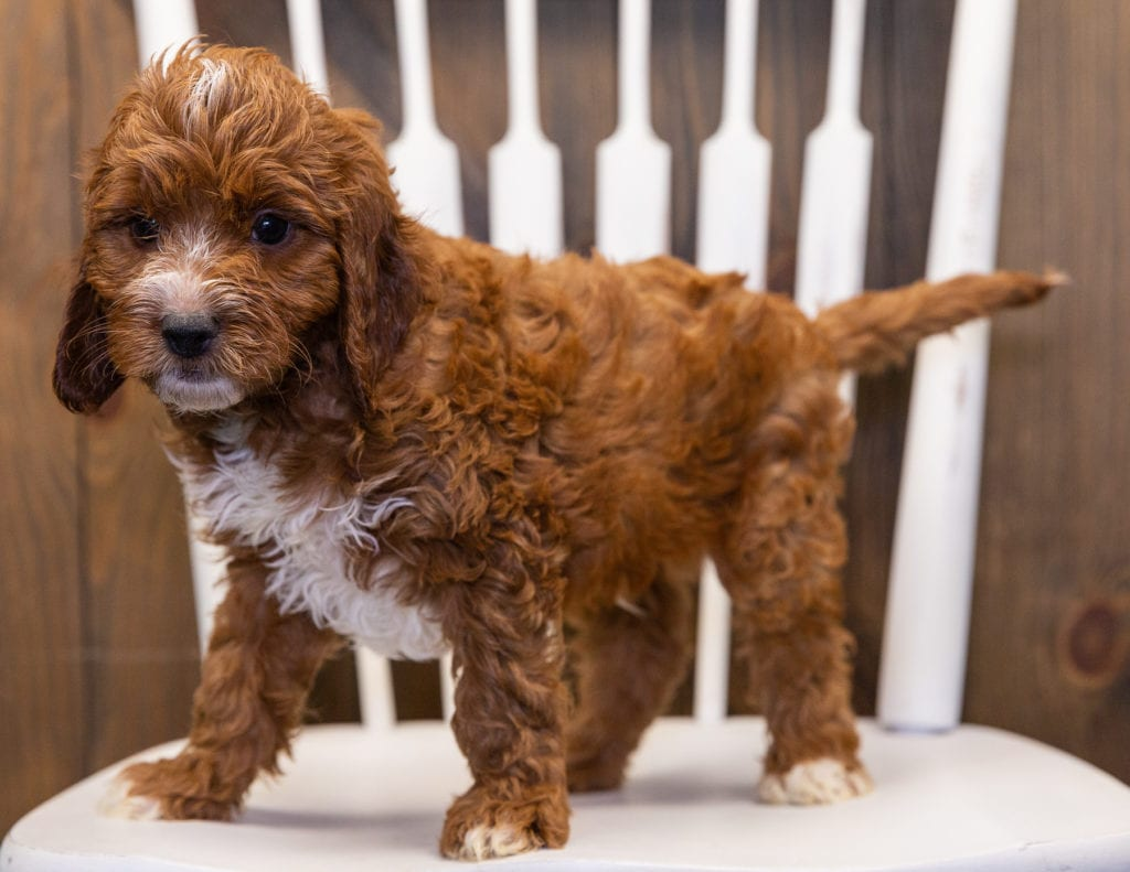 Kipper is an F1 Irish Doodle that should have  and is currently living in North Dakota