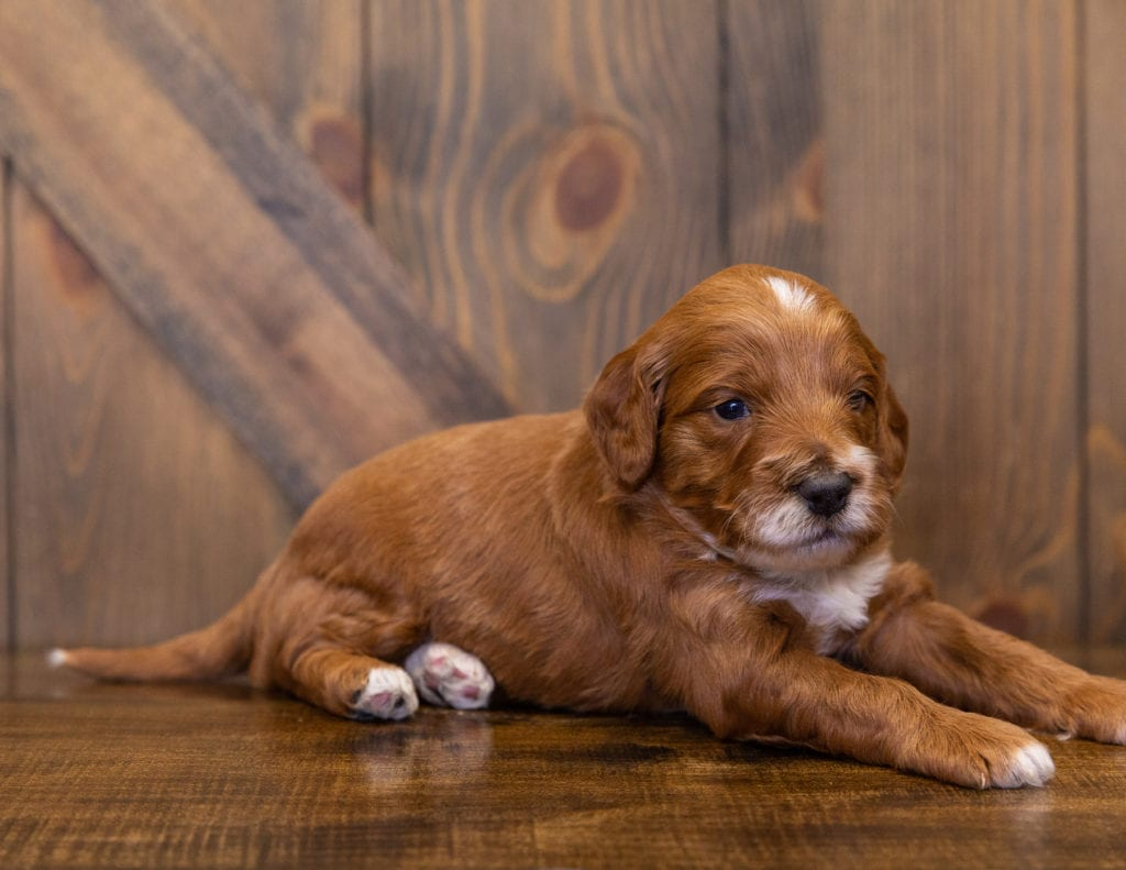 A picture of a Kooper, one of our  Irish Doodles for sale