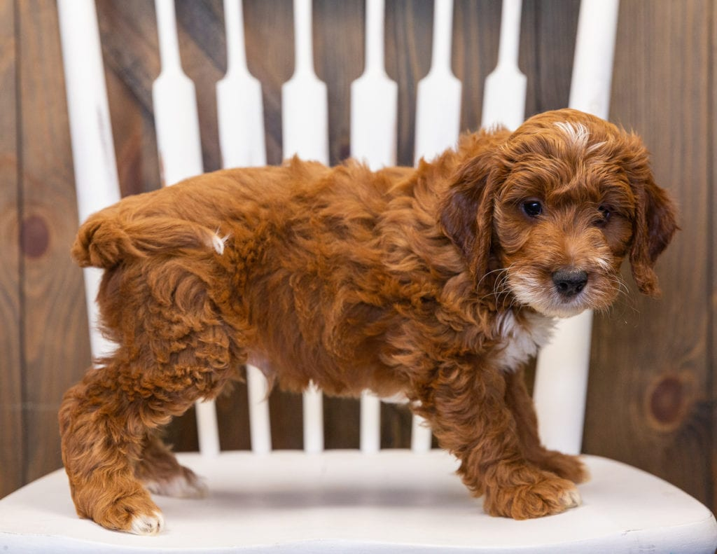 A picture of a Kooper, one of our  Irish Doodles puppies that went to their home in Massachusetts