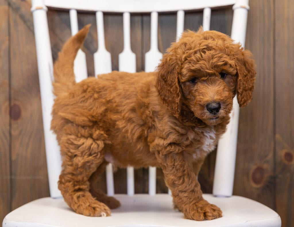 A picture of a Lance, one of our  Goldendoodles puppies that went to their home in California