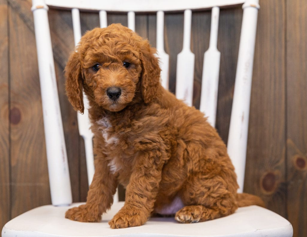Lance is an F1B Goldendoodle that should have  and is currently living in California