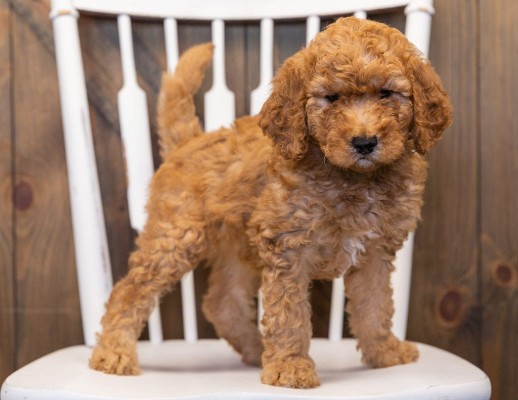 Layla is an F1B Goldendoodle that should have  and is currently living in Iowa