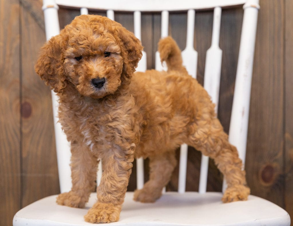 A picture of a Layla, one of our  Goldendoodles puppies that went to their home in Iowa