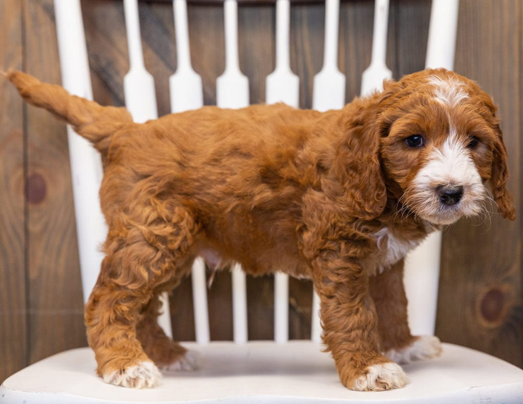 A picture of a Legend, one of our  Goldendoodles puppies that went to their home in Massachusetts
