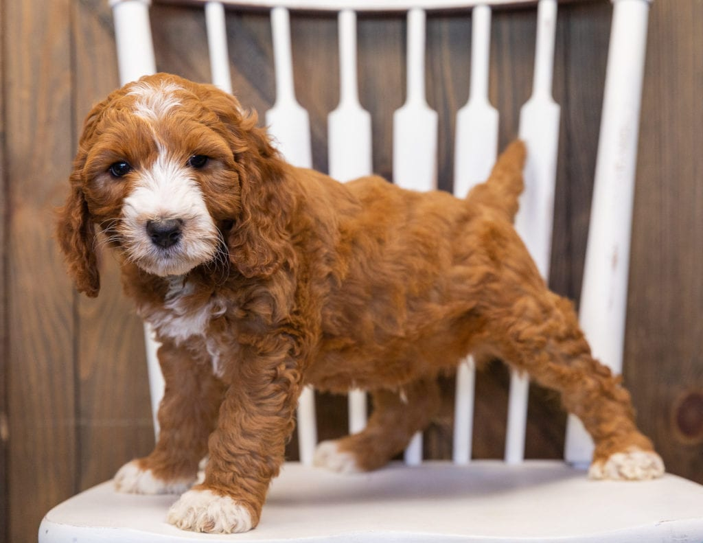 Legend is an F1B Goldendoodle that should have  and is currently living in Massachusetts