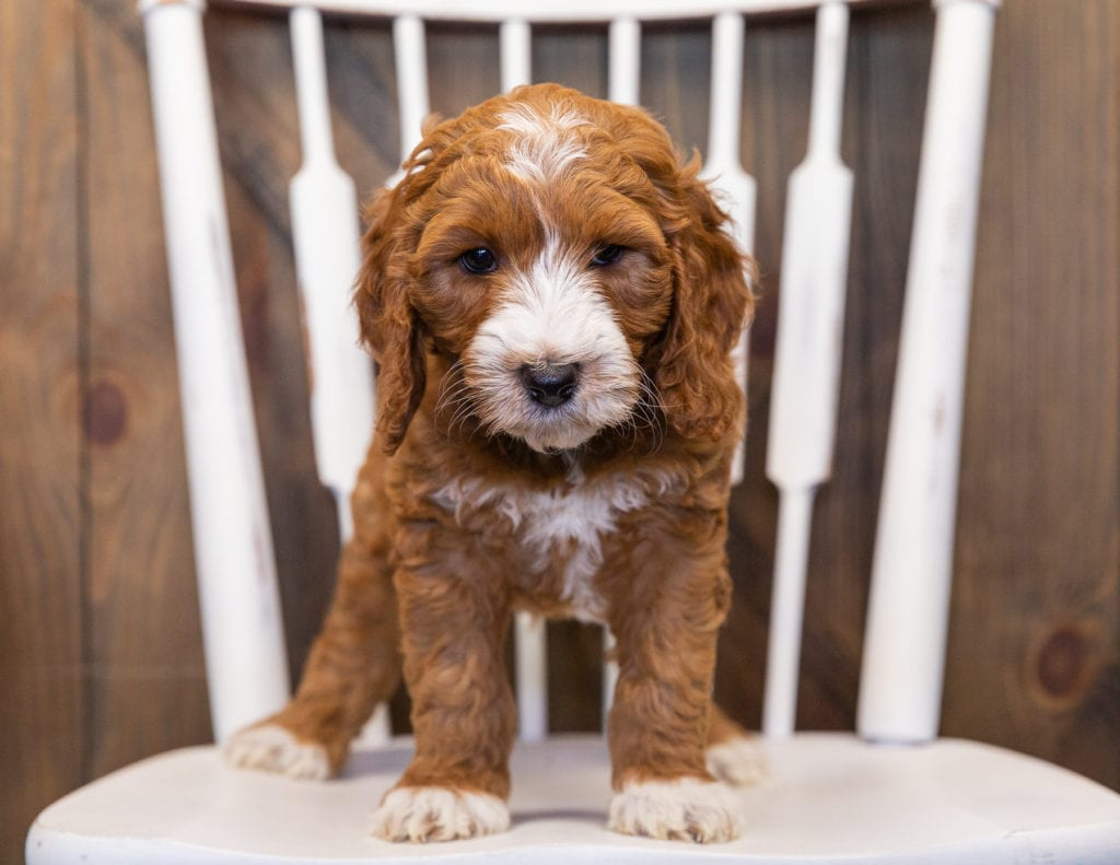 Legend came from Kimber and Scout's litter of F1B Goldendoodles
