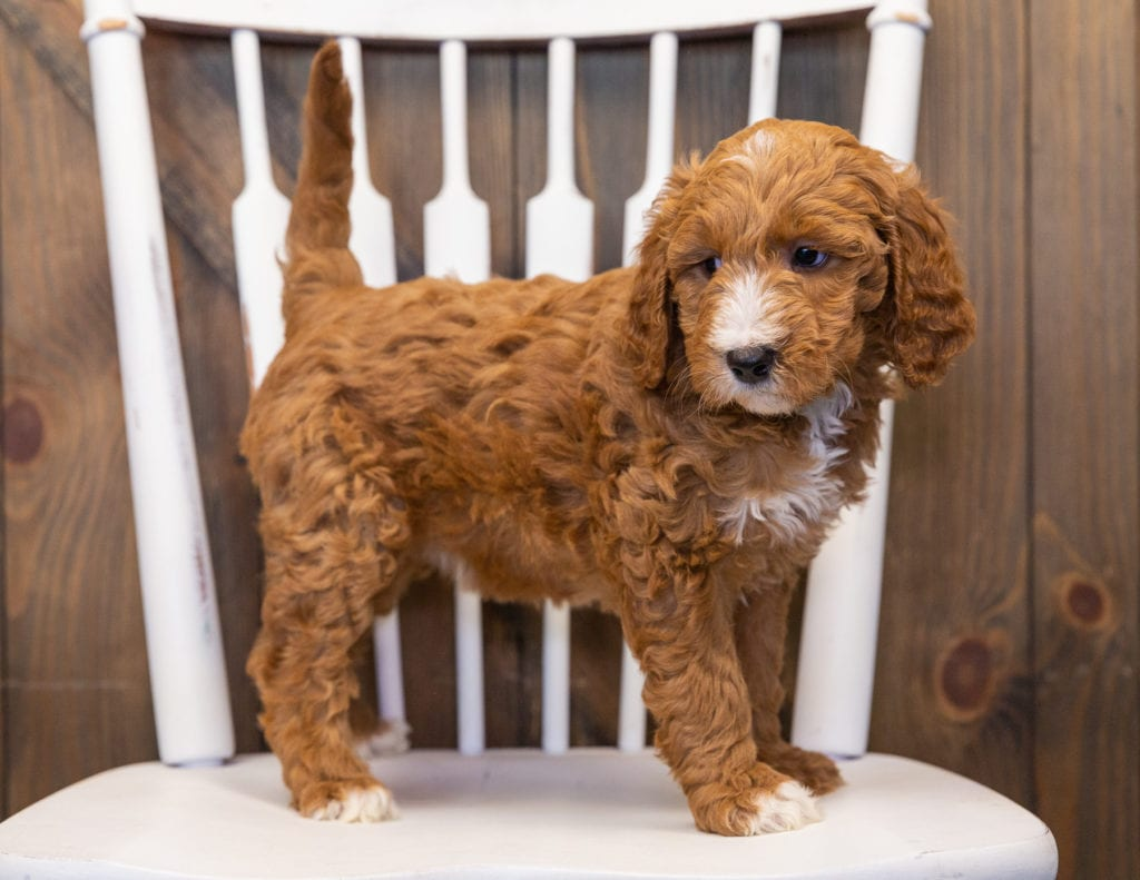 A picture of a Lena, one of our  Goldendoodles puppies that went to their home in Nebraska