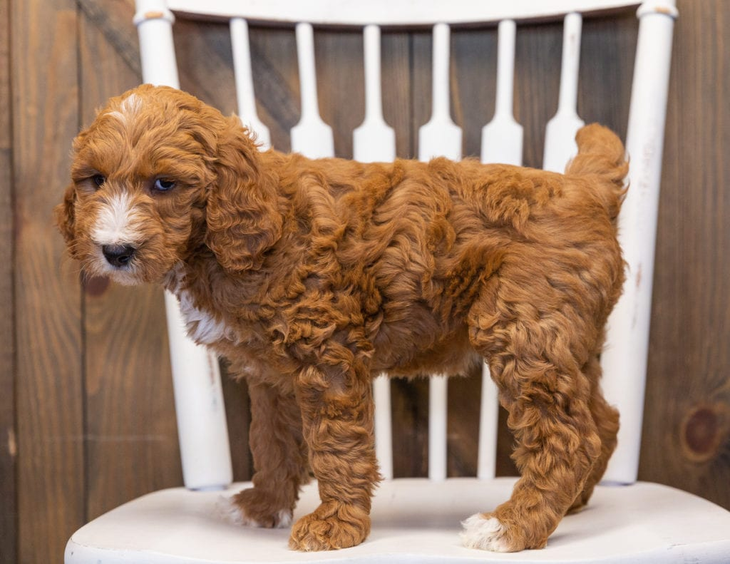 Lena is an F1B Goldendoodle that should have  and is currently living in Nebraska