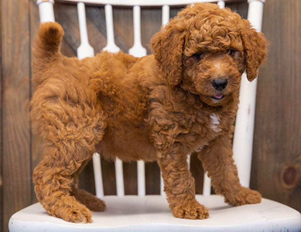 A picture of a Levy, one of our  Goldendoodles puppies that went to their home in New Jersey