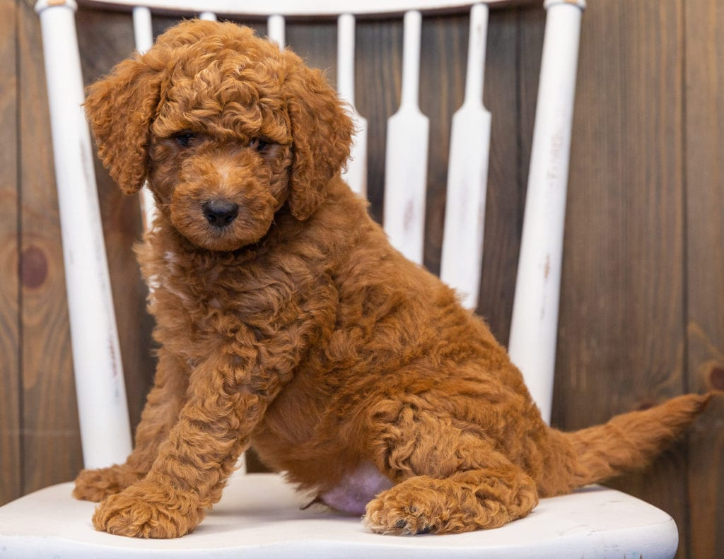 Levy is an F1B Goldendoodle that should have  and is currently living in New Jersey