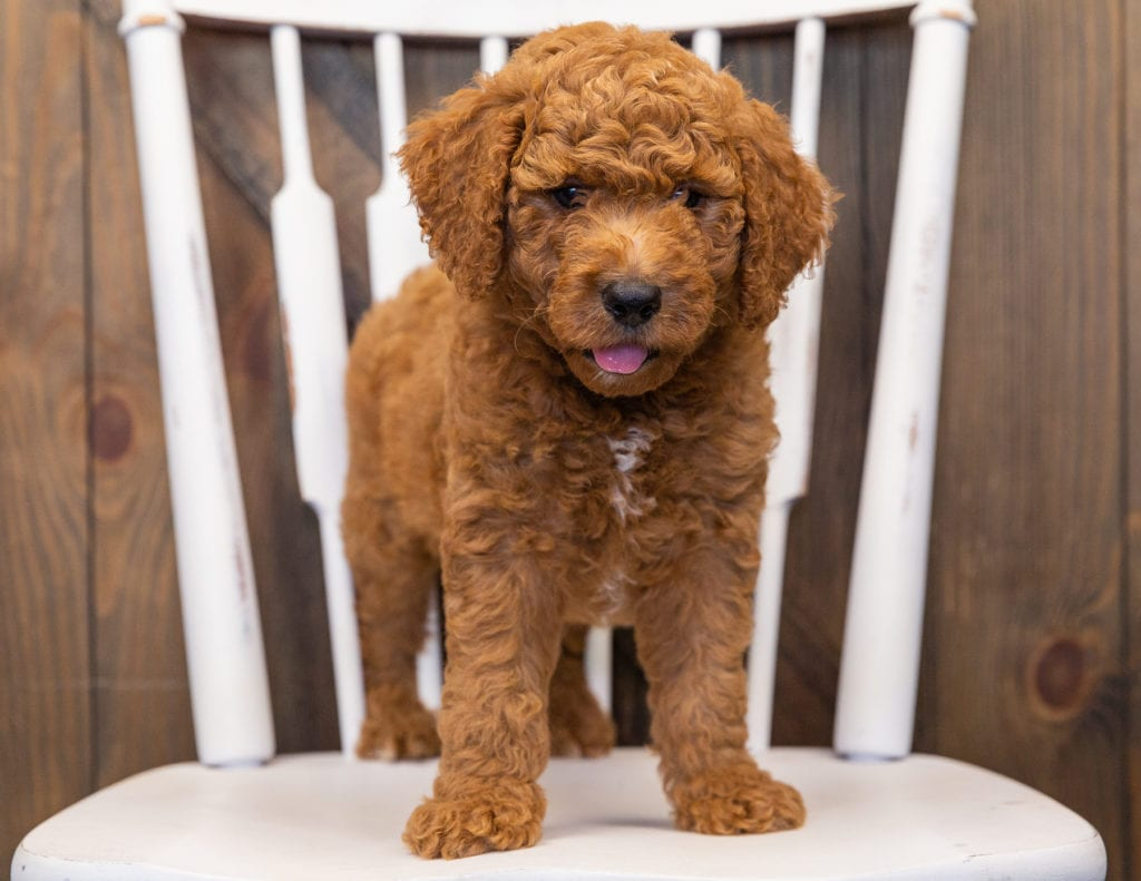 This litter of Goldendoodles are of the F1B generation.