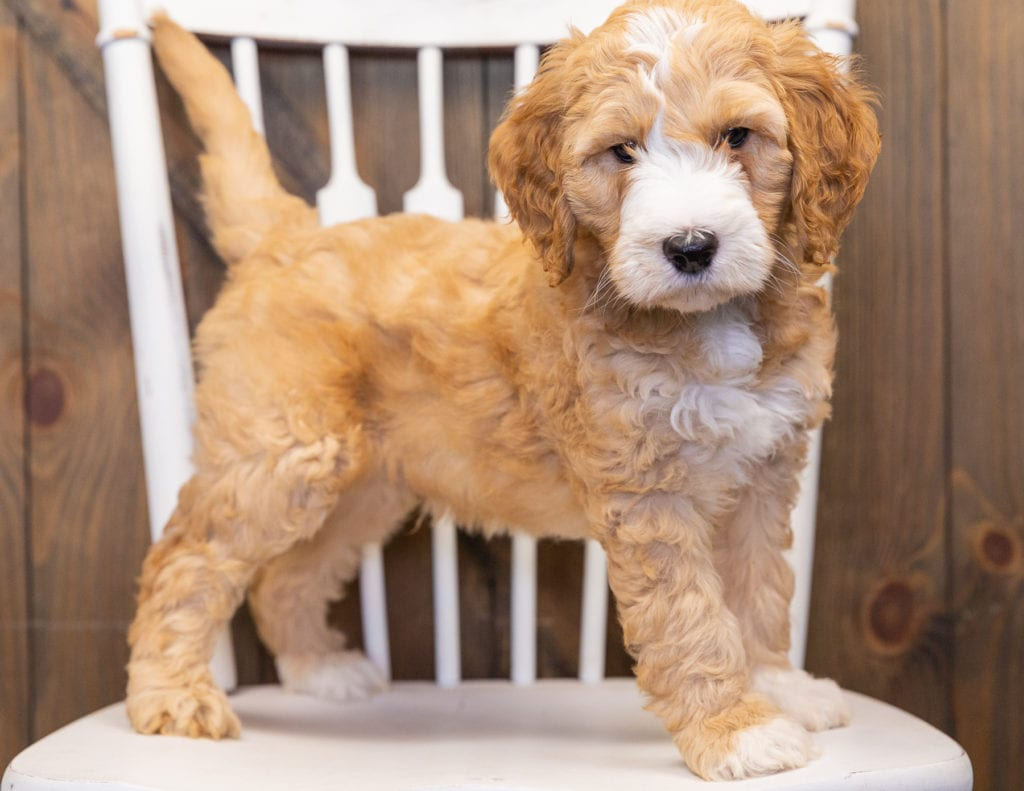 A picture of a Lewie, one of our  Goldendoodles puppies that went to their home in Nebraska
