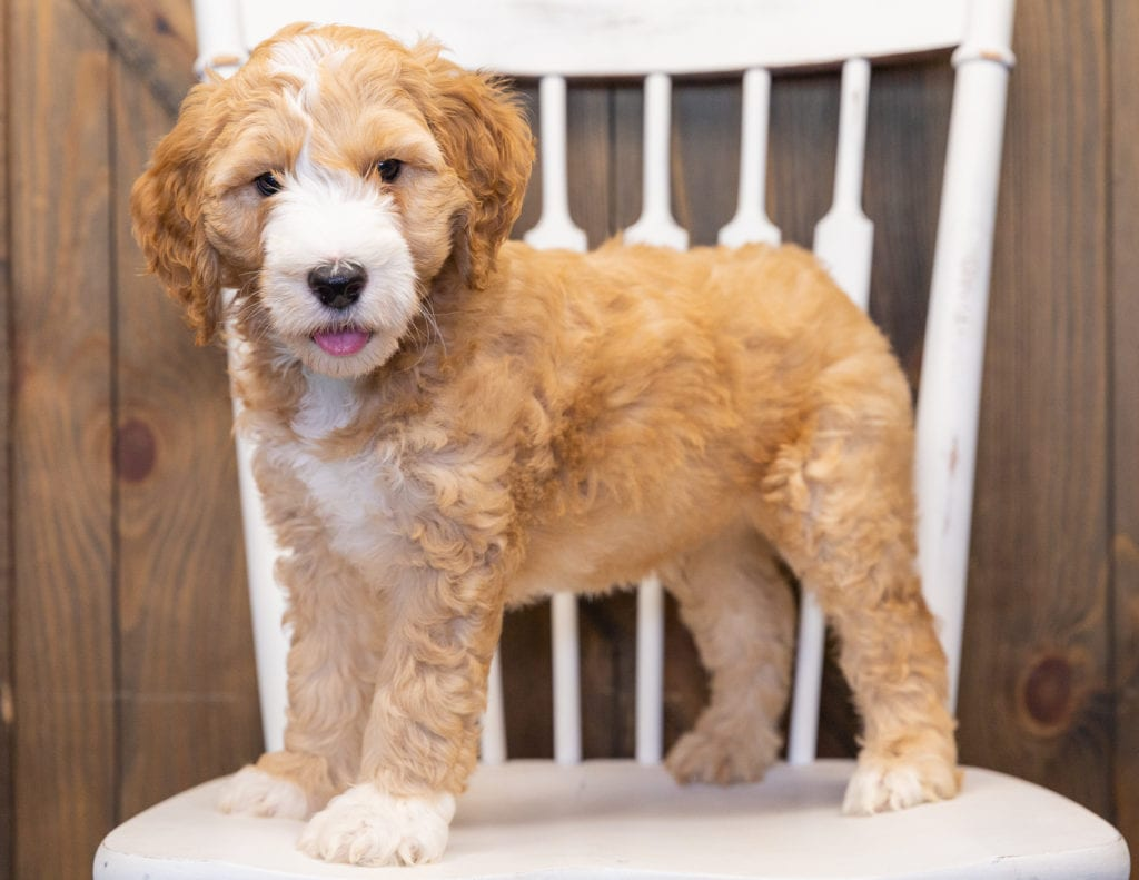 Lewie is an F1B Goldendoodle that should have  and is currently living in Nebraska