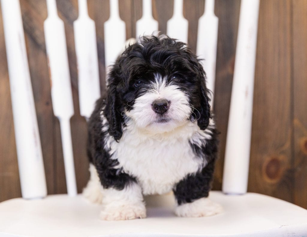 This litter of Bernedoodles are of the F1 generation.