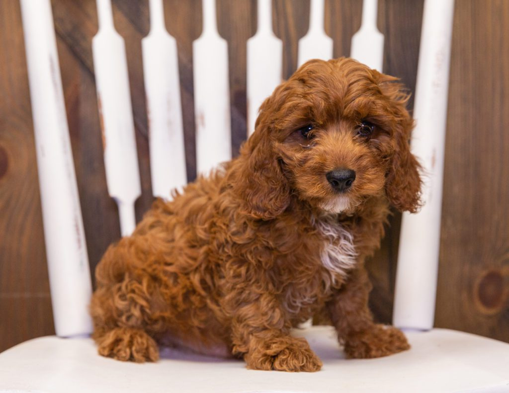 A picture of a Nax, one of our  Cavapoos for sale