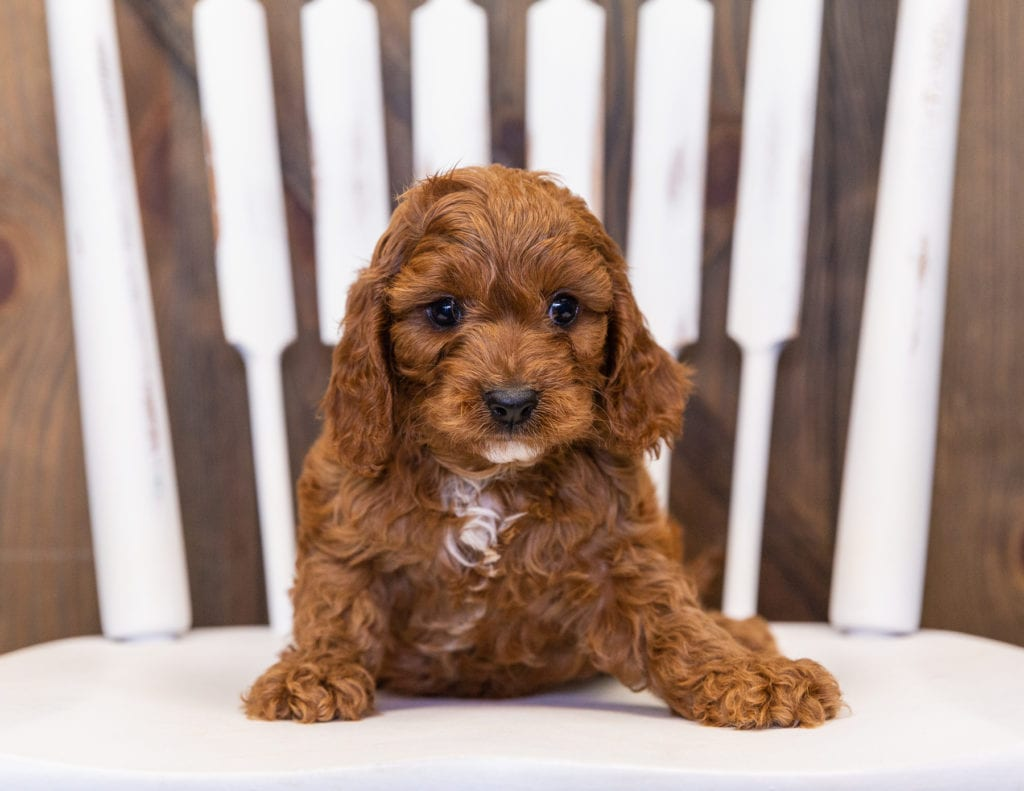 Our cute  Cavapoos available for sale!