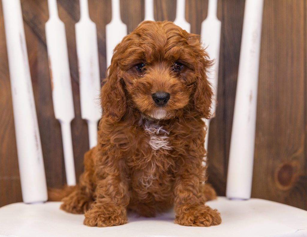 Nax came from Daisy and Reggie's litter of F1 Cavapoos