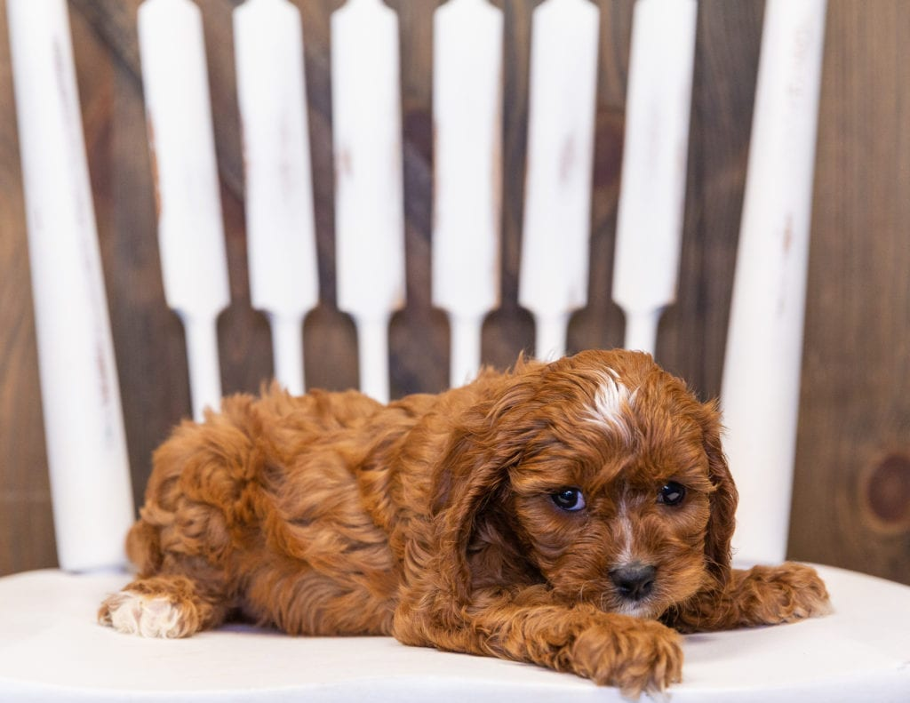 A picture of a Neah, one of our  Cavapoos puppies that went to their home in South Dakota
