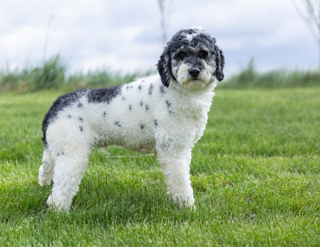 Parker is an  Poodle and a father here at Poodles 2 Doodles, Sheepadoodle and Bernedoodle breeder from Iowa