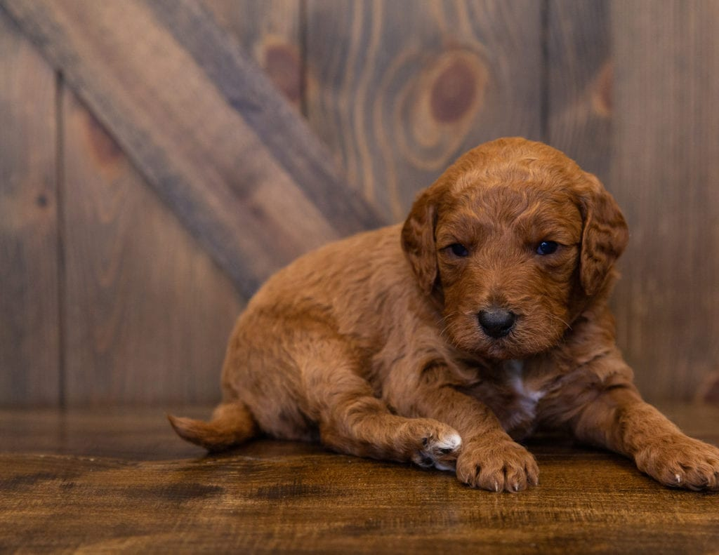 A picture of a Lance, one of our  Goldendoodles for sale