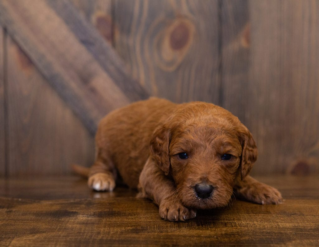 Lance came from Kimber and Scout's litter of F1B Goldendoodles