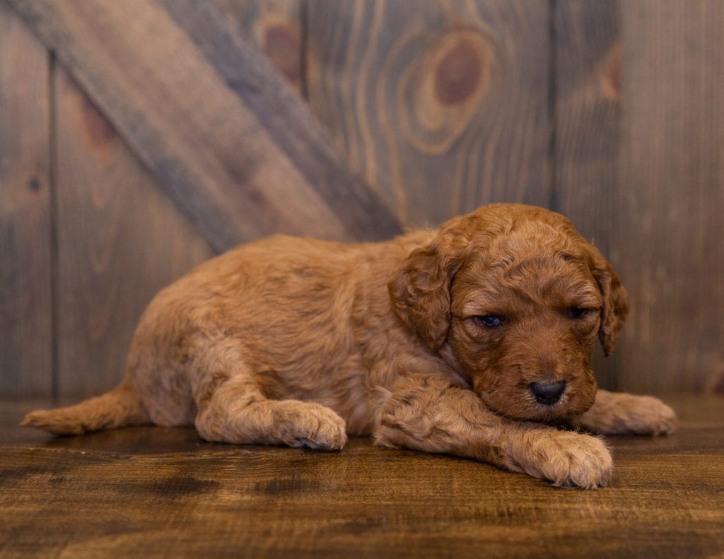 A picture of a Layla, one of our  Goldendoodles for sale