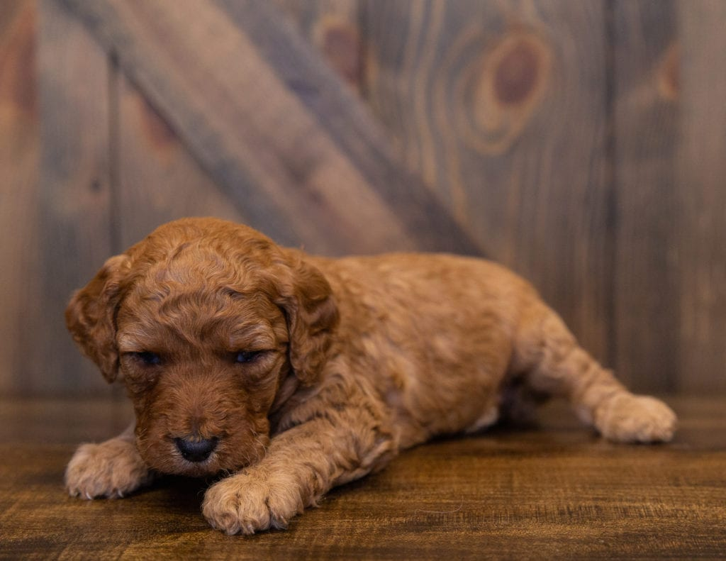 Layla is an F1B Goldendoodle.