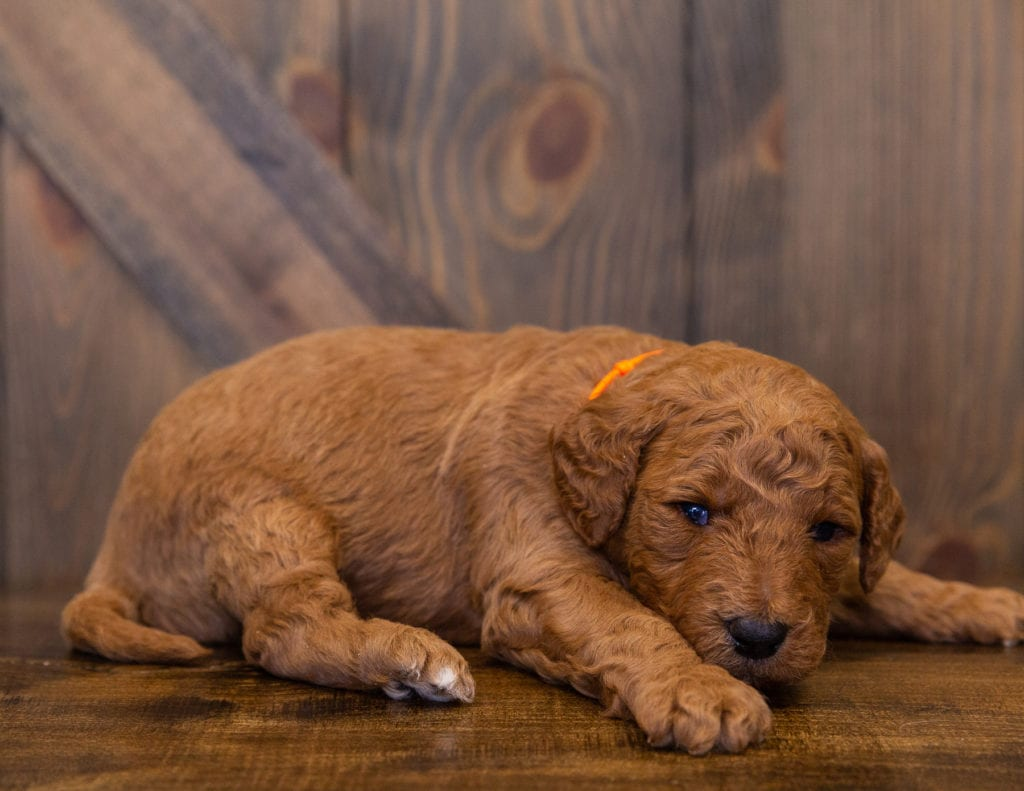 A picture of a Levy, one of our  Goldendoodles for sale