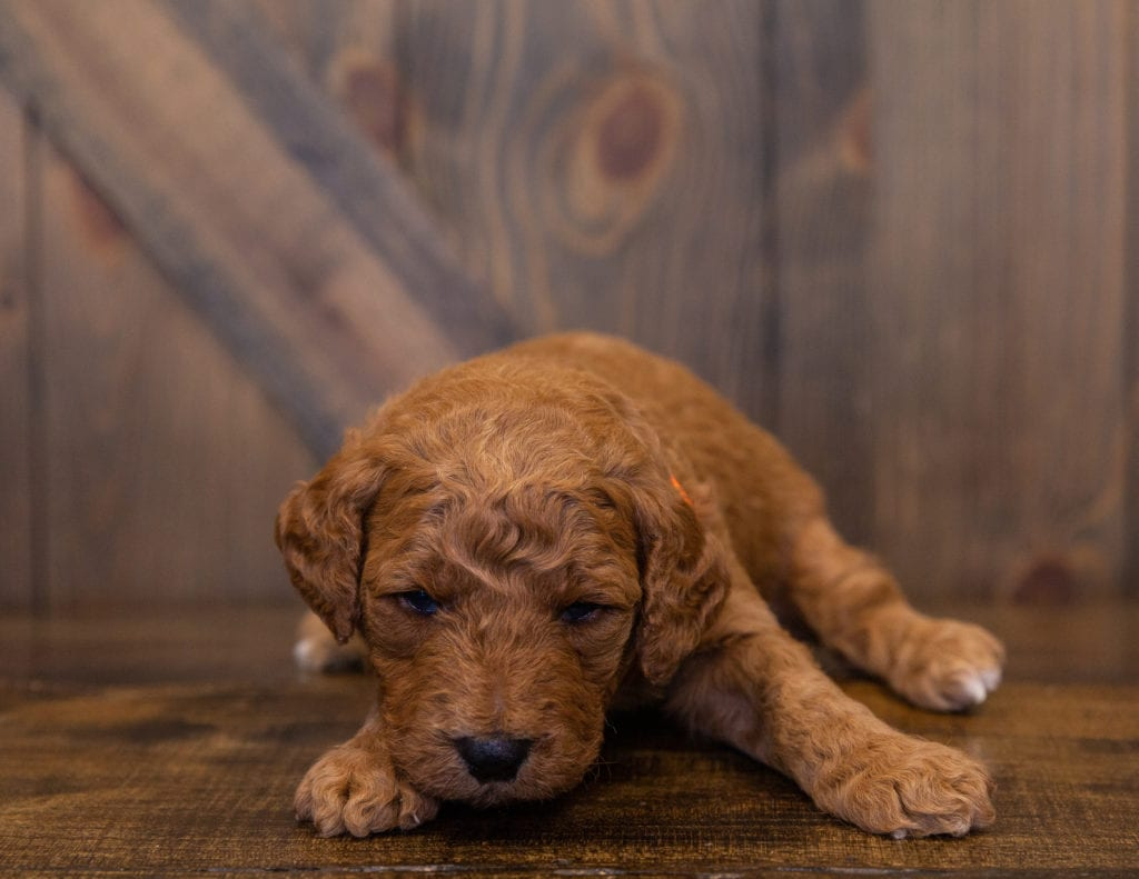 Levy came from Kimber and Scout's litter of F1B Goldendoodles