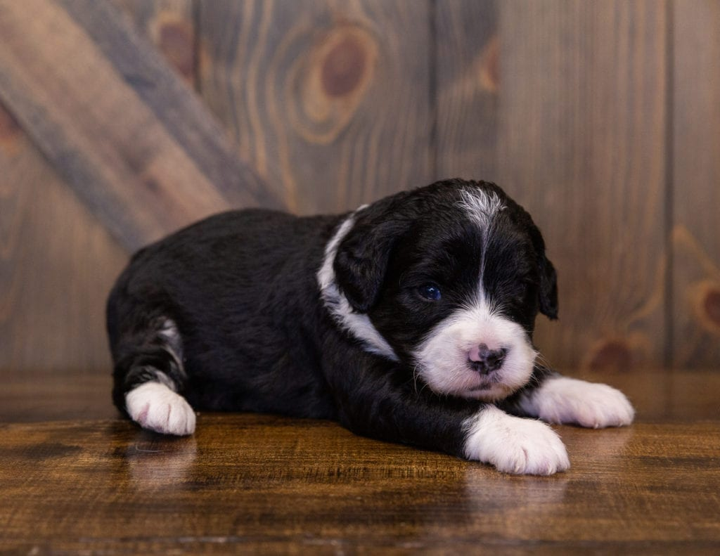 A picture of a Macy, one of our  Bernedoodles for sale