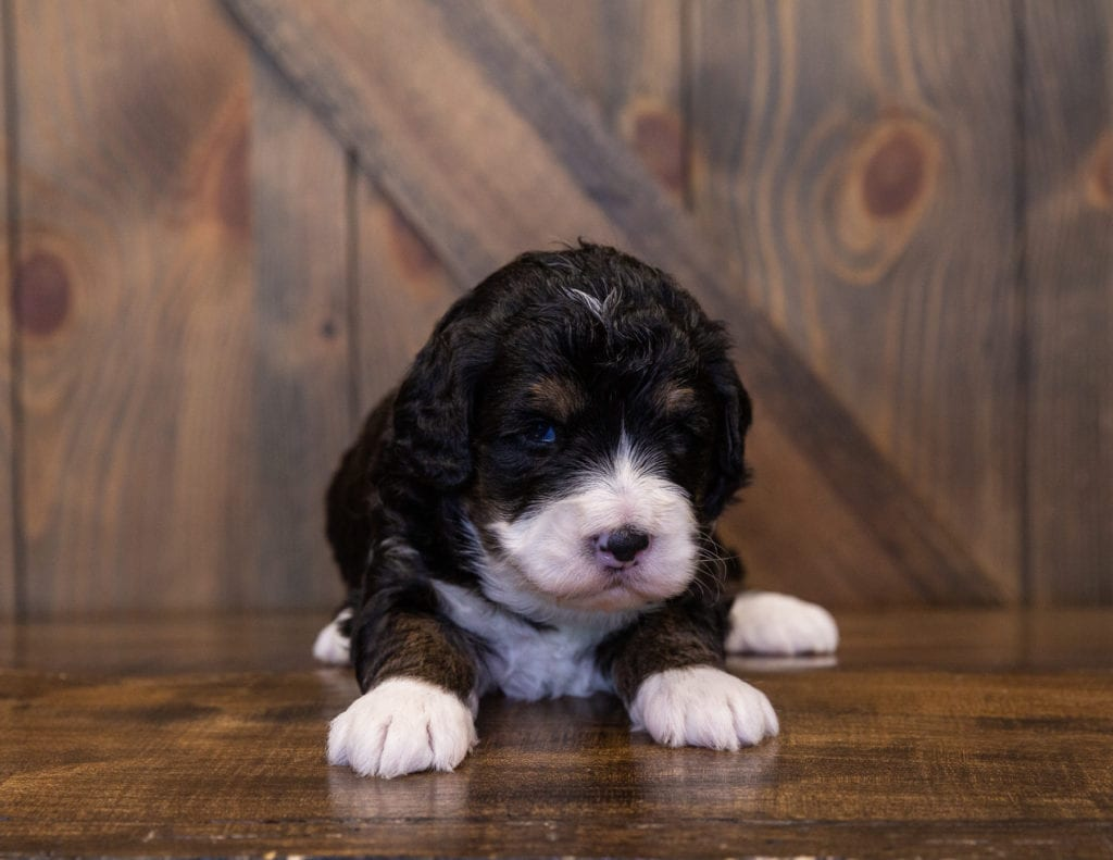 Monte came from Tyrell and Grimm's litter of F1 Bernedoodles