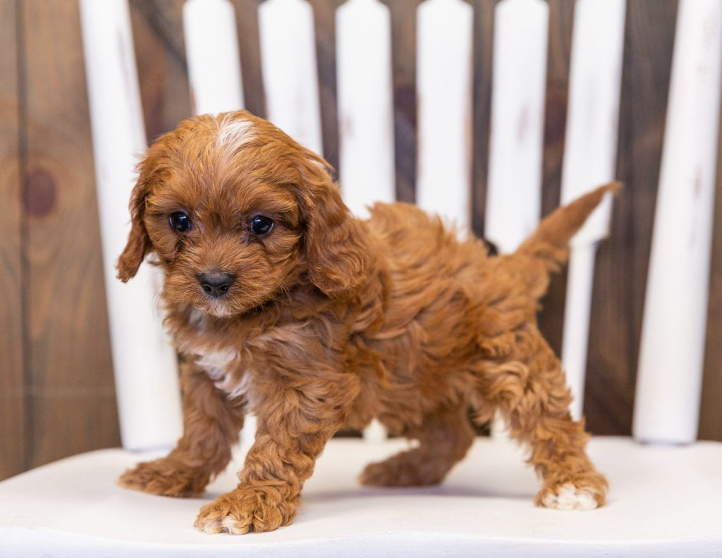 Nassi is an F1 Cavapoo that should have  and is currently living in Minnesota